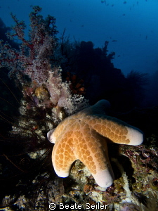 Seastar on a morning dive at the housereef by Beate Seiler 
